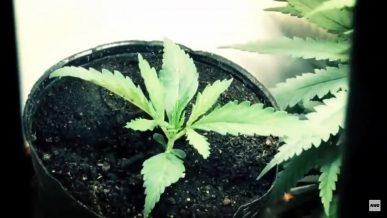 Timelapse de cannabis