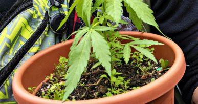 Read more about the article Cannabis, è ora di legalizzare: basta alimentare la criminalità e l'ipocrisia