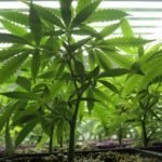 Cannabis, il verdetto dell'Onu: è una pianta medicinale