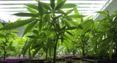 Read more about the article Cannabis, il verdetto dell'Onu: è una pianta medicinale
