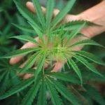In tutto il mondo si approvano leggi per legalizzare la Cannabis. In Italia resta un tabù