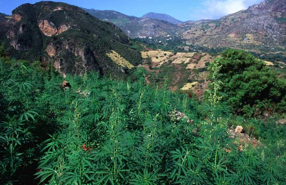 Marocco pronto ad autorizzare l'uso legale della cannabis