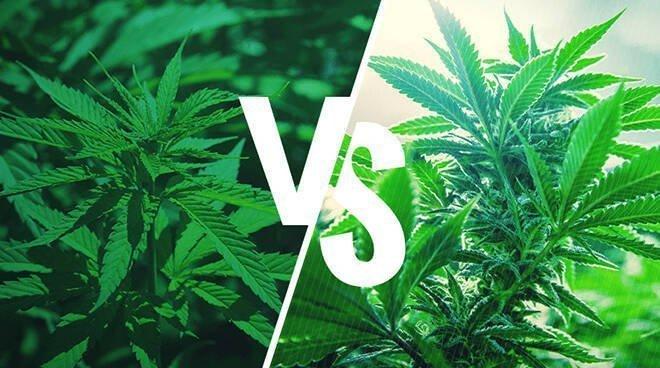 You are currently viewing Cannabis Indica e Sativa, quali sono le differenze?