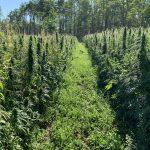Cannabis: sì alla depenalizzazione?