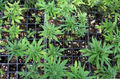 «La cannabis ha una storia profonda di relazione con le culture umane»